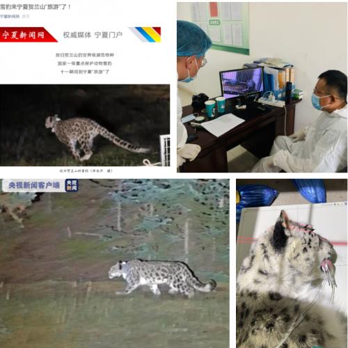 现身宁夏雪豹四王子在鄂尔多斯动物园的救助放归之旅
